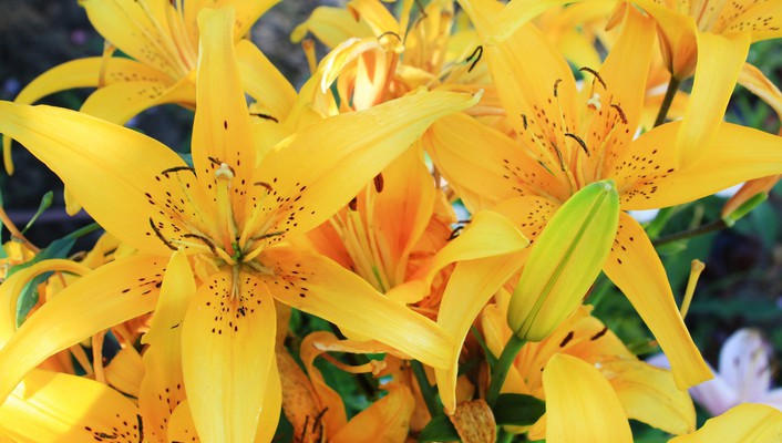 Flowers lilies yellow wallpaper