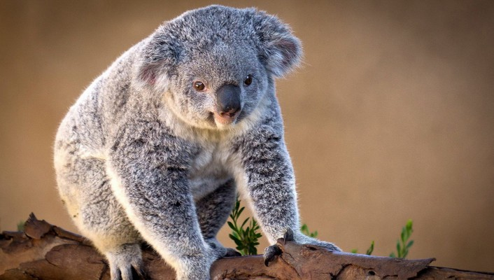 Animals bears gray koalas nature wallpaper