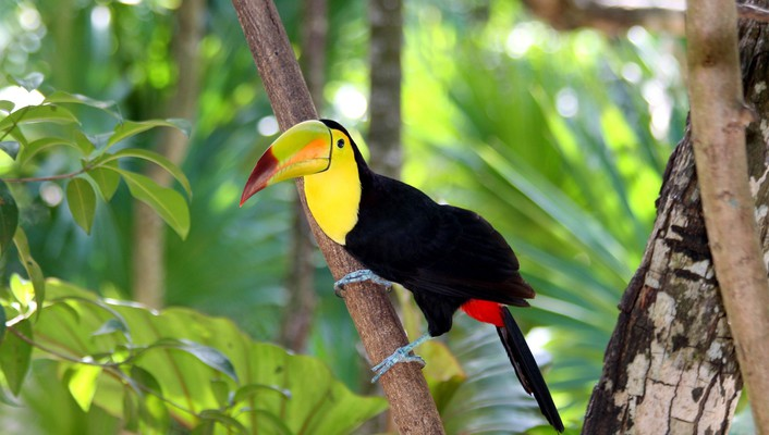 Birds nature toucans wallpaper
