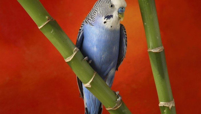 Birds animals bamboo parakeets budgerigar wallpaper