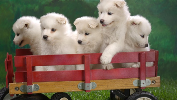 Samoyed animals dogs puppies wallpaper