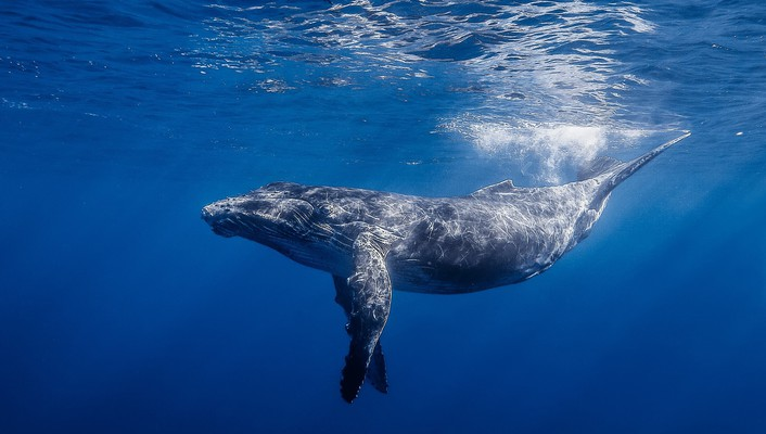 Animals whales sea life wallpaper