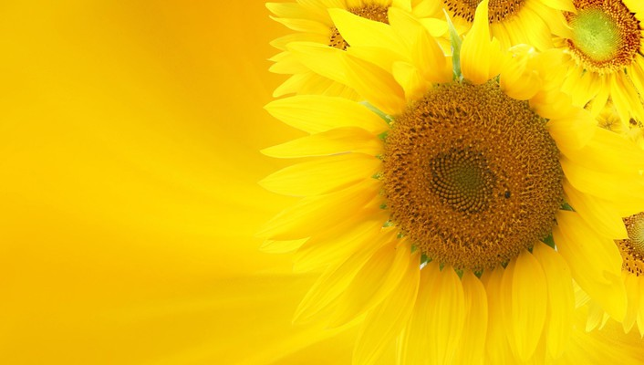 Soft glow of sunflowers wallpaper