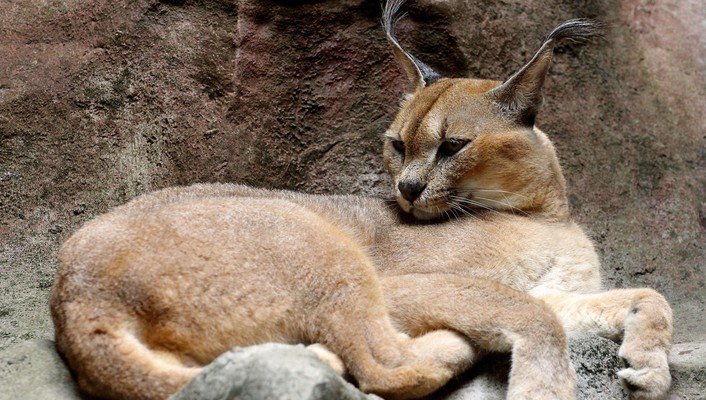 Animals baby caracal nature wallpaper