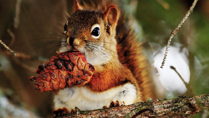 Animals cones nature squirrels wallpaper