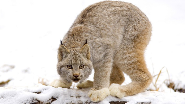 Canadian animals lynx nature wallpaper
