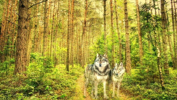 Hdr photography wolves wallpaper