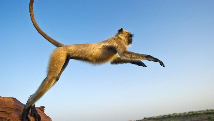 Jumping monkeys nature wallpaper