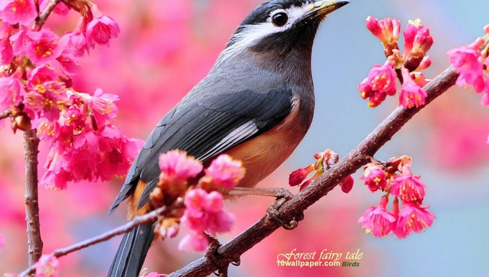 Whiteeared sibia animals birds blossoms pink flowers wallpaper