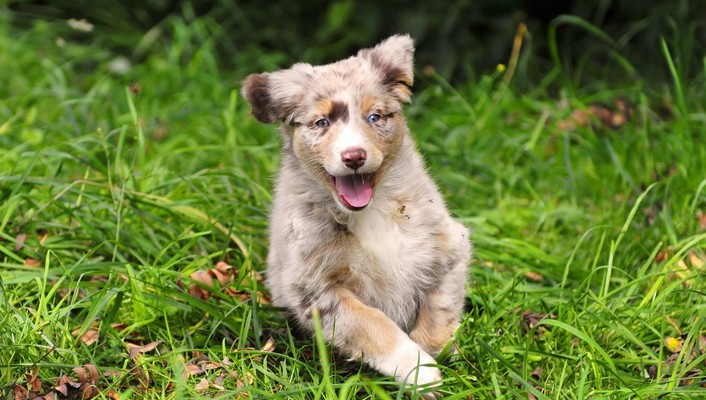 Animals australian shepherds dogs puppies wallpaper