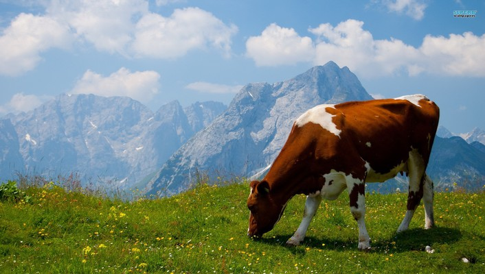Alps animals cows wallpaper