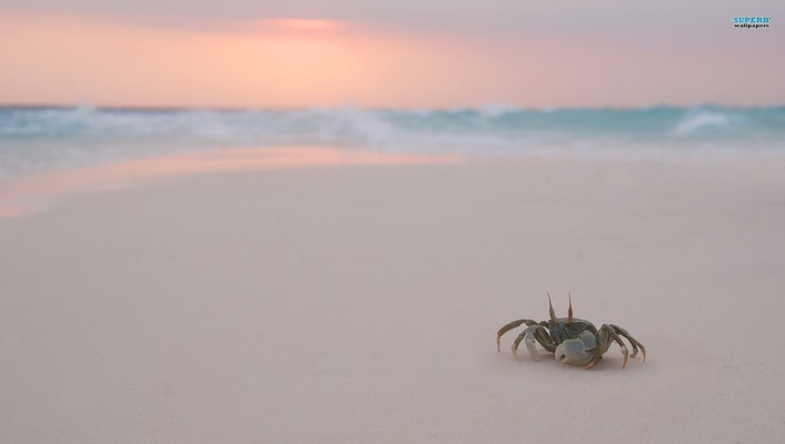 Animals beaches crabs wallpaper