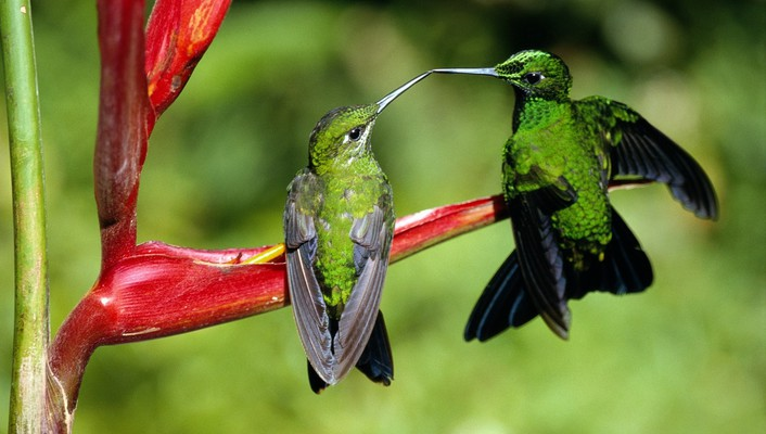 Hummingbird kiss wallpaper