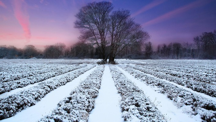 Lavender field and winter sunset wallpaper