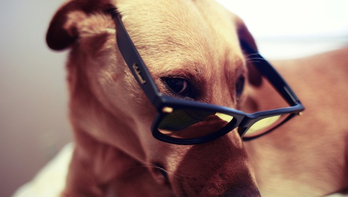 Animals dogs glasses pets sunglasses wallpaper