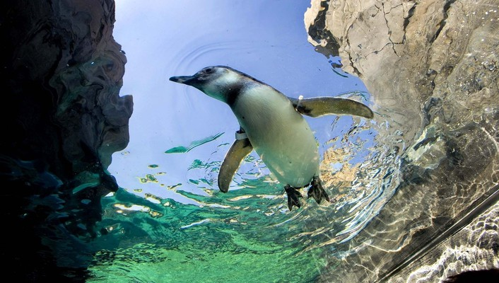 Animals birds penguins swimming wallpaper