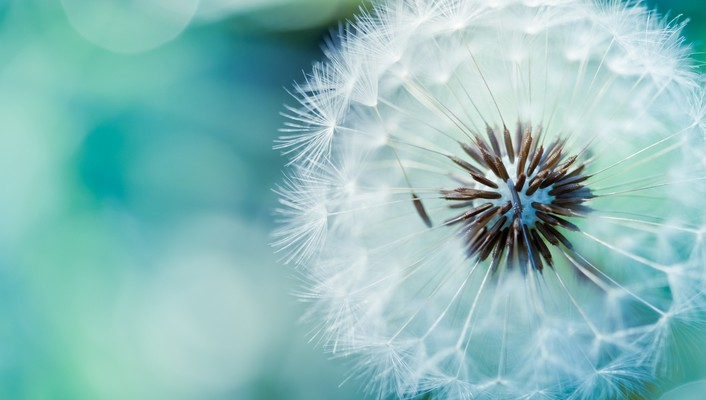 Dandelions flowers macro nature white wallpaper