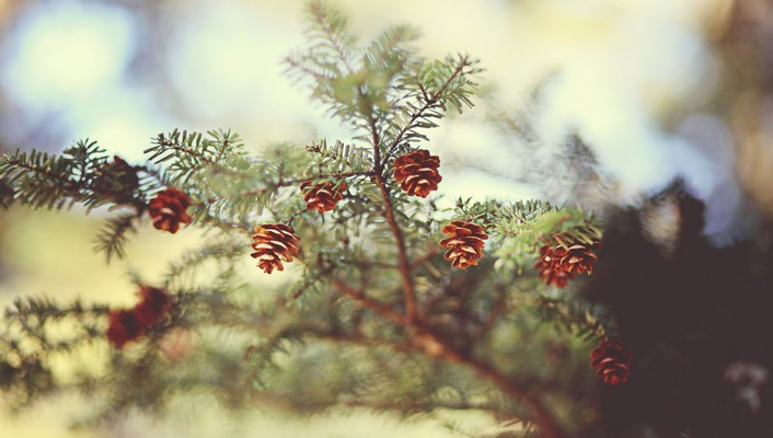 Branches cones trees wallpaper