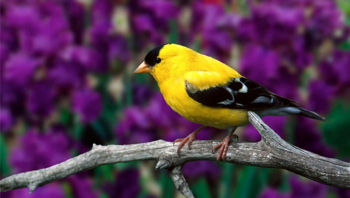 Goldfinch birds branches depth of field nature wallpaper
