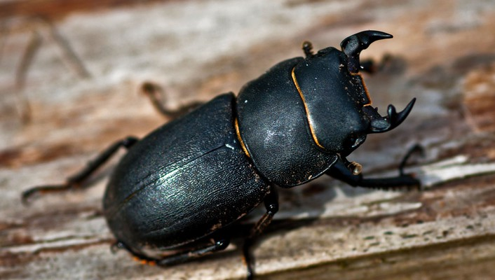 Beetles bugs insects wallpaper