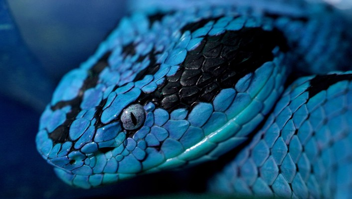 Blue reptiles snakes wallpaper