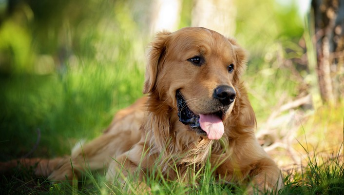 Animals dogs golden retriever pets wallpaper
