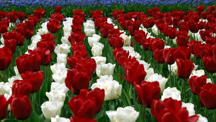 Flowers fields tulips holland wallpaper