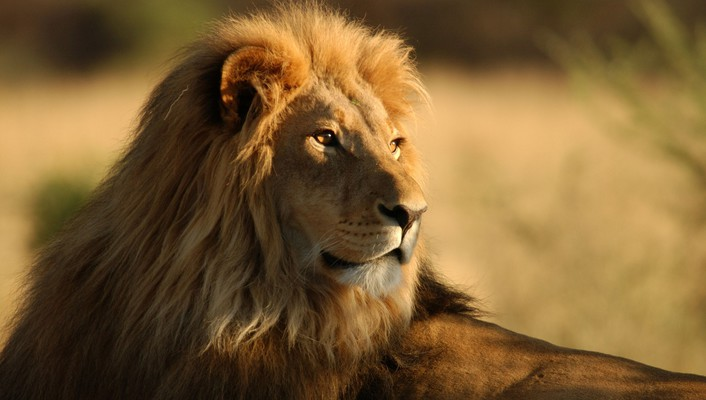 Africa animals lions wildlife wallpaper