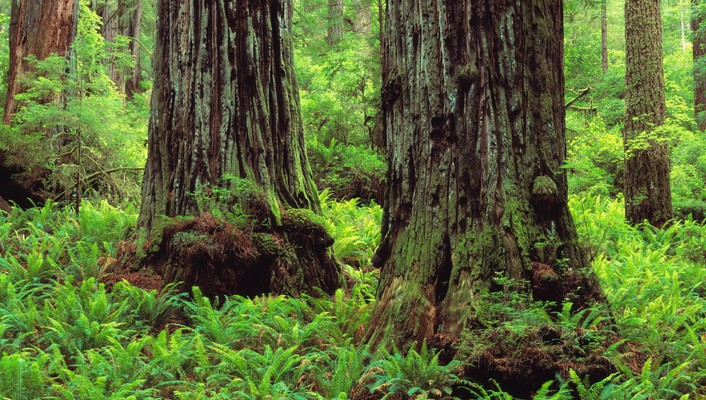 Nature trees california trunks ferns creek wallpaper