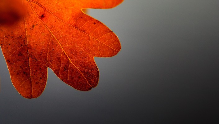 Autumn closeup gray background leaves macro wallpaper