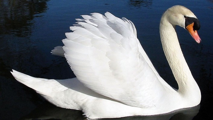 Birds animals swans wallpaper