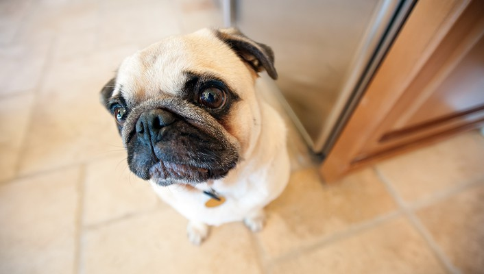 Animals dogs pets looking up pug wallpaper