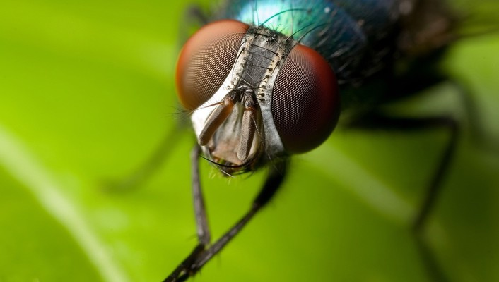 Animals fly insects iridescence macro wallpaper