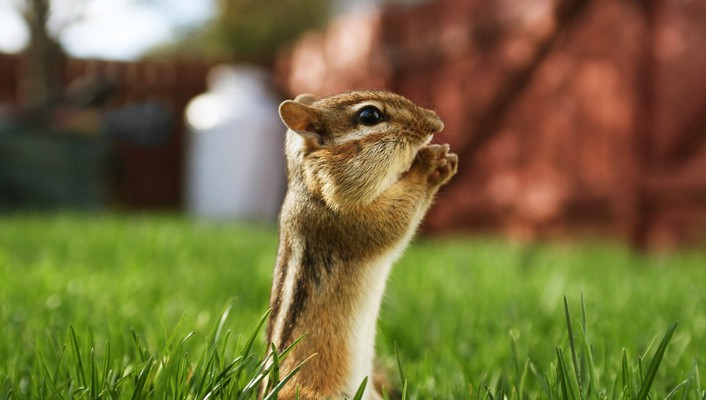 Animals chipmunks depth of field grass macro wallpaper