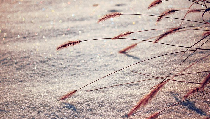 Snow spikelets wallpaper