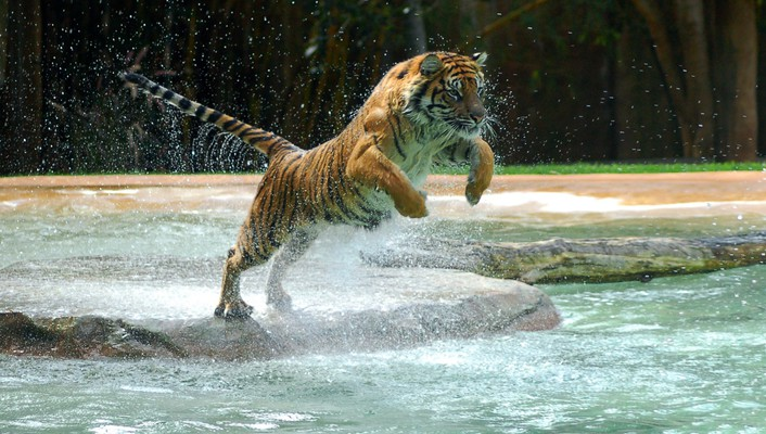 Animals jumping tigers water wallpaper