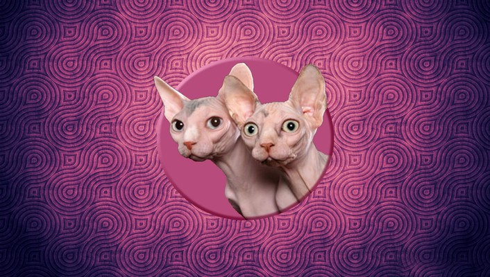 Sphynx cats wallpaper