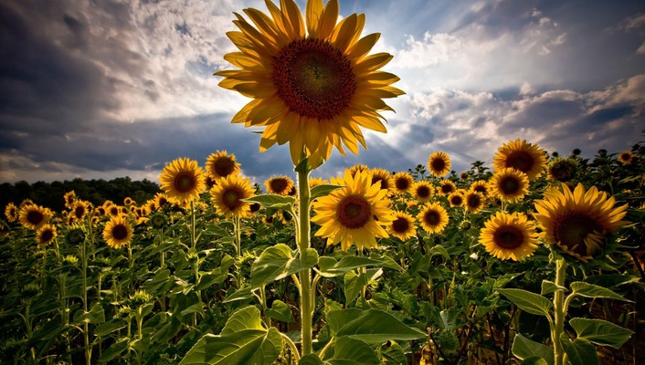 Clouds flowers skyscapes sunflowers wallpaper