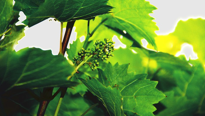 Trees old fruits leaves live wine drinks wallpaper