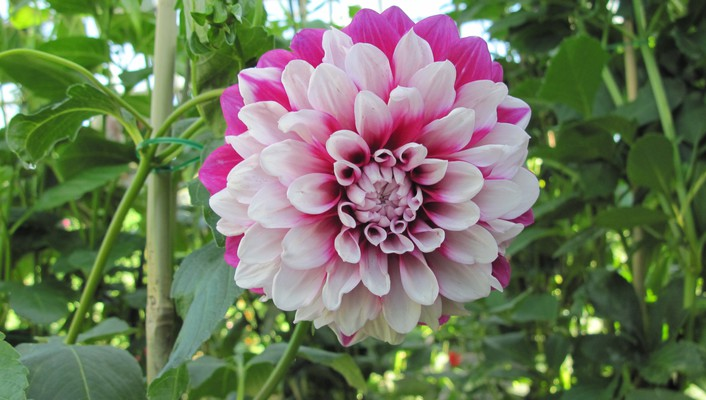 Two tone dahlia wallpaper