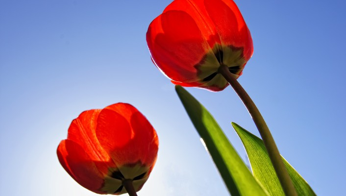 Flowers red roses tulips wallpaper