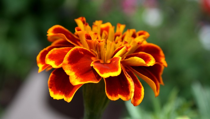 Marigold flower wallpaper