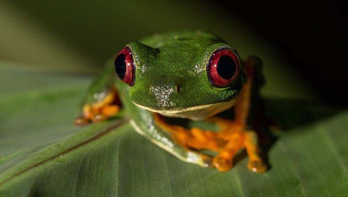Redeyed tree frog amphibians animals frogs wallpaper