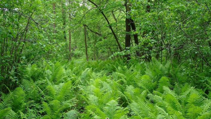 Ferns in the woods wallpaper