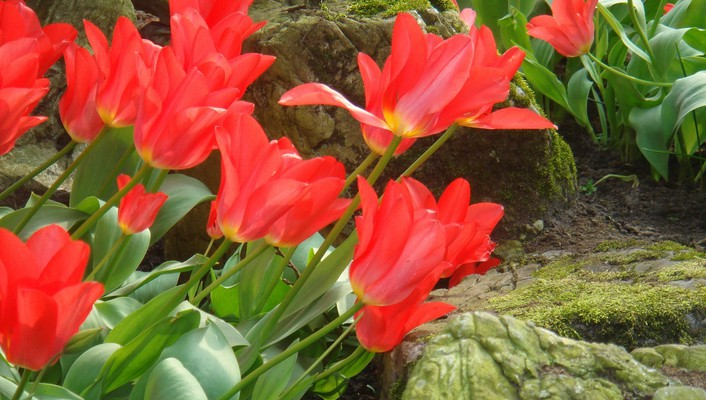 Red beautiful tulips wallpaper