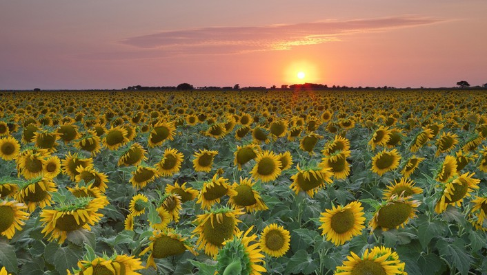 Sunset texas sunflowers wallpaper