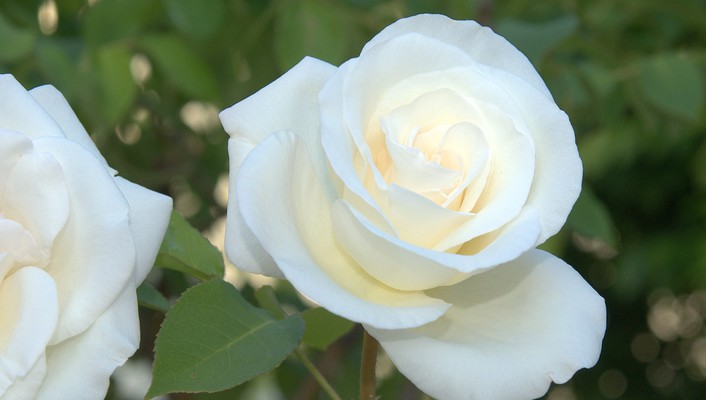 White satin rose wallpaper