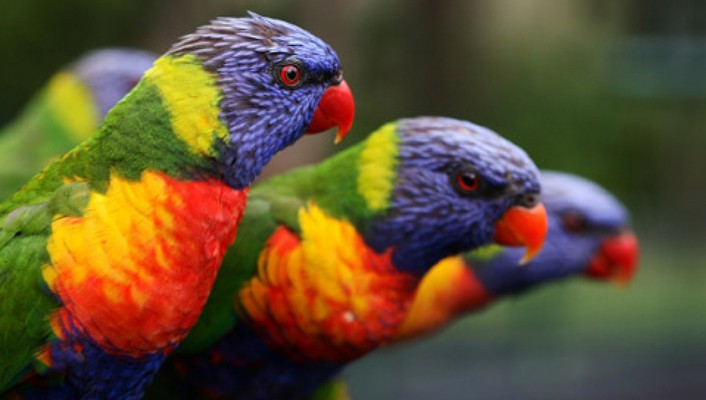 Multicolor birds animals parrots rainbow lorikeet wallpaper