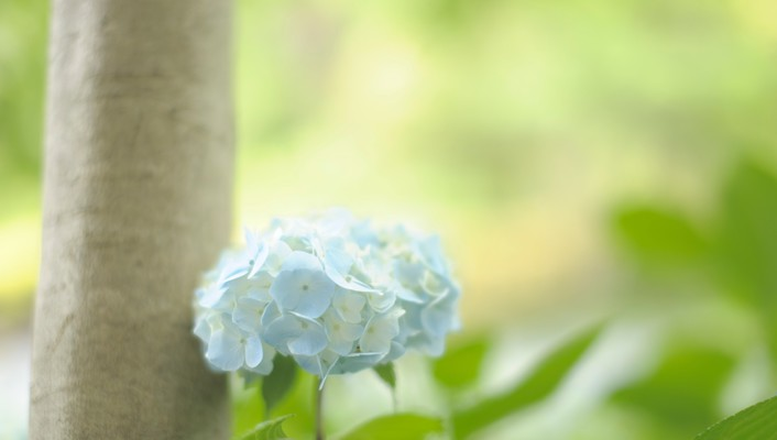 Flowers hydrangea macro wallpaper
