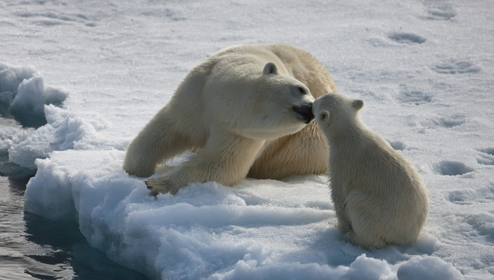 Mommy polar bear kissing baby baby wallpaper